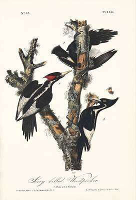 Ivory-billed Woodpeckers, Artwork Poster by Humanities And Social Sciences Librarynew York Public Library