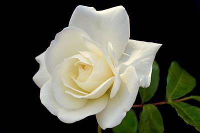 Ivory Rose. Poster