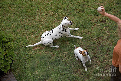 Jack Russell Terrier And Dalmatian Poster by Gerard Lacz