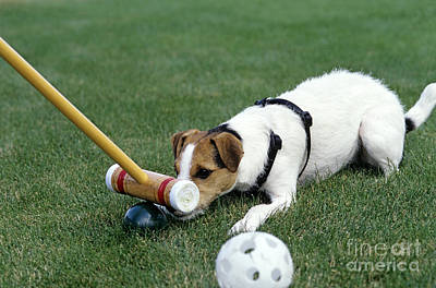 Jack Russell Terrier Playing Croquet Poster by Jim Corwin