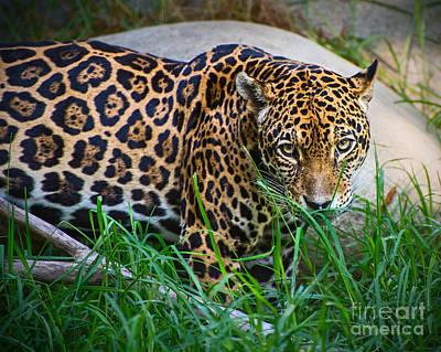 Jaguar In Grass Poster