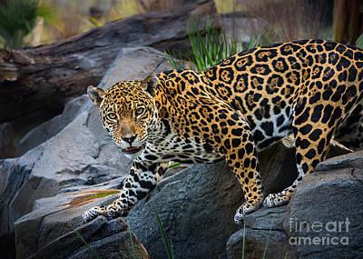 Jaguar Pose Poster by Jamie Pham