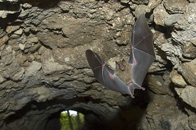Jamaican Fruit Bat Flying In A Cave Under A Maya Ruin In Tikal  Poster by Hal Brindley