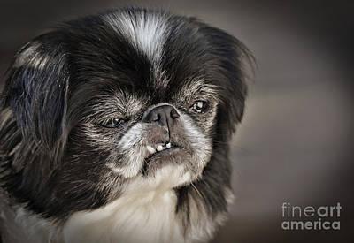 Japanese Chin Doggie Portrait Poster