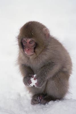 Japanese Macaque Macaca Fuscata Baby Poster