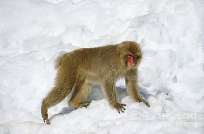Japanese Macaque Macaca Fuscata Poster