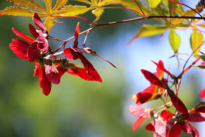 Japanese Maple 1782 Poster