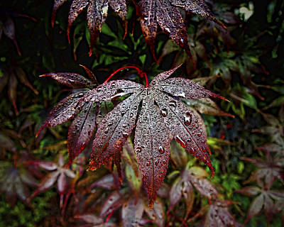 Japanese Maples In The Rain Poster by Michael Putnam