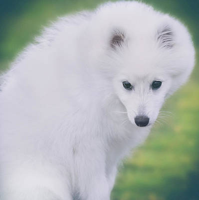Japanese Spitz Puppy Portrait Poster by Wolf Shadow  Photography