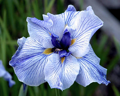 Japanese Water Iris In Blue 2695 H_3 Poster