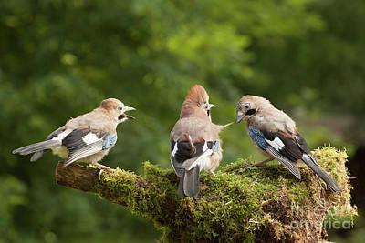 Jay Bird Family Of Three Feeding Poster by Simon Bratt Photography LRPS