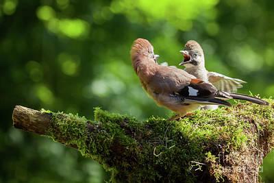Jay Bird Feeding Baby Jay Poster