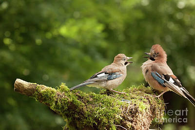 Jay Bird Feeding Young Chick Poster
