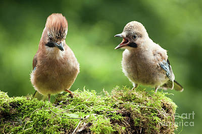 Jay Bird Mother With Young Chick Poster