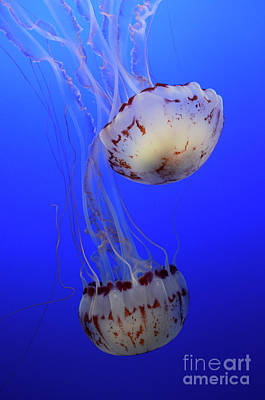 Jellyfish 1 Poster by Bob Christopher