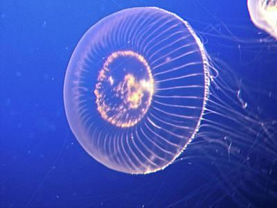 Jellyfish Iv Poster