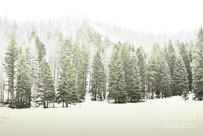 Jemez Mountains Pine Trees Snow Poster by Andrea Hazel Ihlefeld
