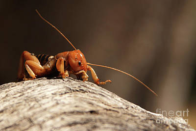 Poster featuring the photograph Jerusalem Cricket On Textured Log by Max Allen