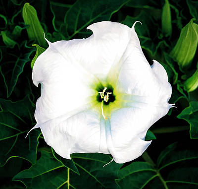 Poster featuring the photograph Jimson Weed #1 by Lou Novick