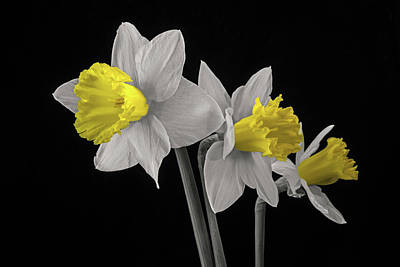 Jonquils Poster by Don Spenner