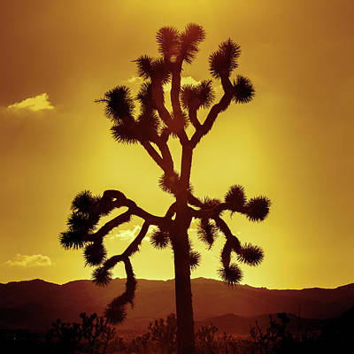 Poster featuring the photograph Joshua Tree by Stephen Stookey