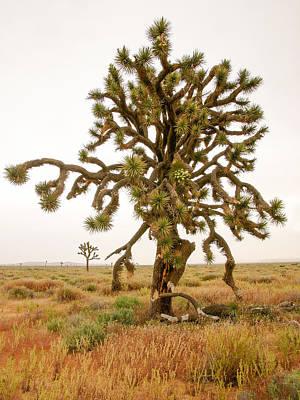 Joshua Trees In Desert Poster