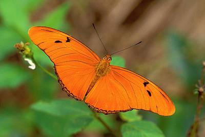 Julia Butterfly Poster by Alan Lenk