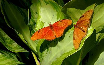 Poster featuring the photograph Julia Butterfly Pair by Rosalie Scanlon