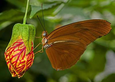 Julia Longwing Butterfly Poster
