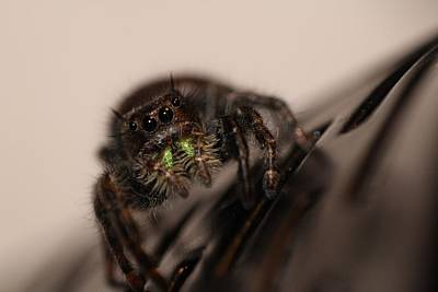Jumping Spider Poster by Francesco Gonnella