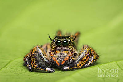 Jumping Spider On Green Leaf. Poster by Tosporn Preede