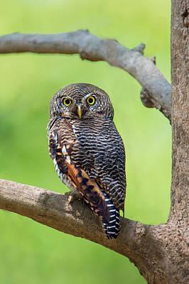 Jungle Owlet Glaucidium Radiatum Poster