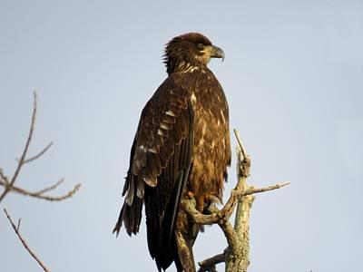 Juvenile Bald Eagle 1 Poster