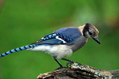 Juvenile Blue Jay  Poster