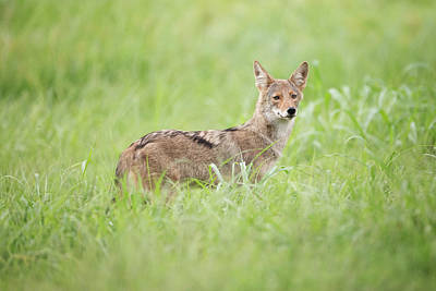 Juvenile Coyote Poster