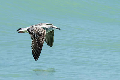 Juvenile Great Black-backed Gull In Flight Poster by Dawn Currie