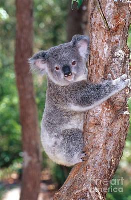 Juvenile Koala Poster by B. G. Thomson