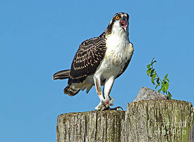 Juvenile Osprey#1 Poster by Geraldine DeBoer
