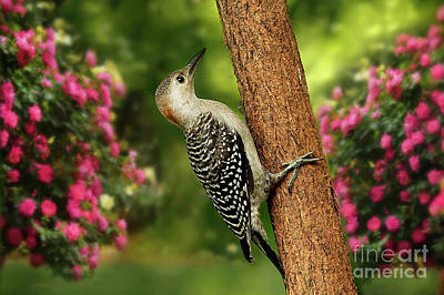 Poster featuring the photograph Juvenile Red Bellied Woodpecker by Darren Fisher