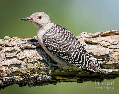Juvenile Red-bellied Woodpecker Poster
