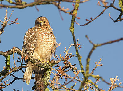 Juvenile Red-shouldered Hawk Poster by Loree Johnson