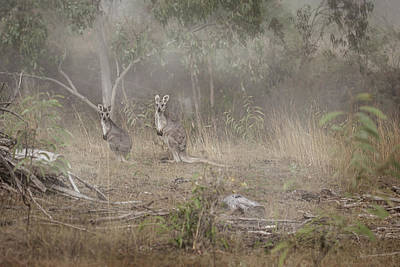 Kangaroos In The Mist Poster