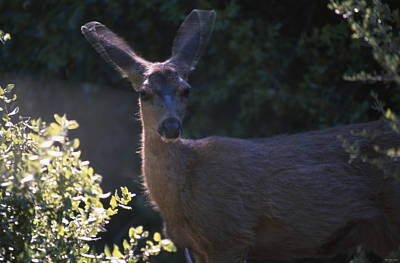 Keen Senses - Mule Deer Poster by Soli Deo Gloria Wilderness And Wildlife Photography