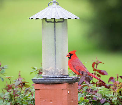 Poster featuring the photograph Kentucky Cardinal  by Ricky L Jones