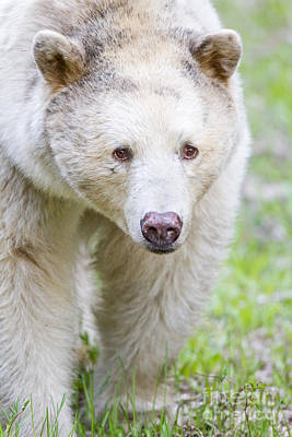 Kermode Bear Portrait Poster by Brandon Broderick