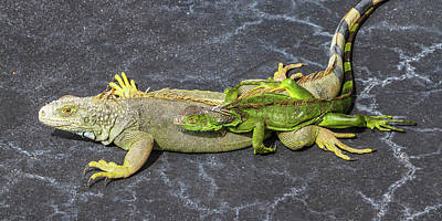 Poster featuring the photograph Key West Iguana Needs To Buy A Baby Carriage by Bob Slitzan