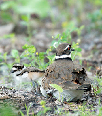 Killdeer With Chicks Poster by Mary Dreher