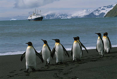 King Penguins And Cruise Ship Lindblad Poster by Gordon Wiltsie