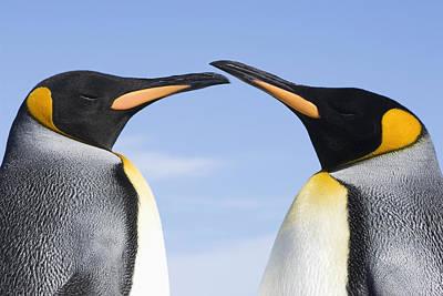 King Penguins  Aptenodytes Patagonicus Poster by Daisy Gilardini