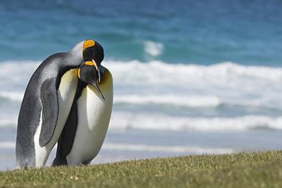 King Penguins Courting  Aptenodytes Poster by Daisy Gilardini